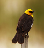 Yellow-headed Blackbird - male_2502.jpg