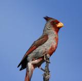 Cardinals, Grosbeaks,Saltators