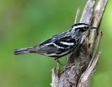 Black-and-white Warbler - breeding male_8953.jpg