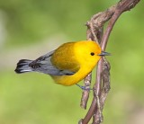 Prothonotary Warbler - male_1077.jpg