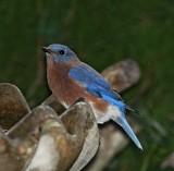 Eastern Bluebird - male_3111.jpg