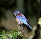 Western Bluebird - male_0350.jpg