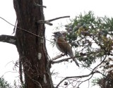 Brown-backed Solitaire_0464.jpg