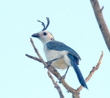 White-throated Magpie-Jay_9996.jpg