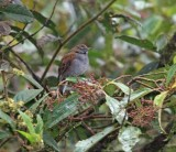 Andean Solitaire_0510.jpg