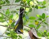 Golden-winged Warbler - male_4056.jpg