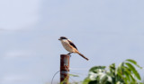 Long-tailed Shrike_5219.jpg