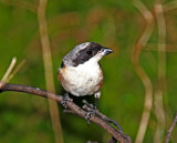 Long-tailed Shrike_5554.jpg