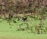 Pheasant-tailed Jacana_5482.jpg