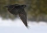 Grand corbeaux