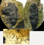 Nemania serpens on rotten wood SherwoodForest May-13 HW.jpg