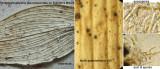 Paraphaeosphaeria glaucopunctata on Butcher's Broom CarltonWood Jun-13.jpg