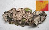 Peniophora rufomarginata on Tilia  C-in-L churchyard Jul-13 HW.jpg