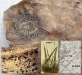 Colletotrichum trichellum (coelomycete) on upper surface of dead ivy leaf CarltonWood  Aug-2013 HW.jpg