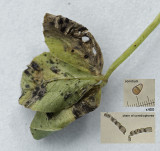 Cymadothea trifolii on clover Clipstone Aug-13.jpg