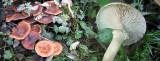 Armillaria ostoyae on stump Shireoaks 10-2013 HW m.jpg