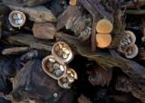 Crucibulum laeve  at Ransom Wood Oct-13 by John Brown.jpg