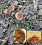 Flammulaster granulosus in soil CarltonWood Jan-14 HW m.jpg