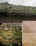 Bionectria ralfsii on dead yew CarltonWood Feb-14 HW m.jpg