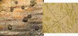 Cryptodiscus libertianus var rosarum on dead bramble stem CarltonWood Feb-14 HW m.jpg