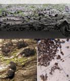 Trimmatostroma betulinum (a hyphomycete) on willow ClumberPark Feb-14 HW.jpg
