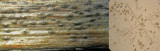 Hysterium angustatum on dead bramble stem Hodsock Mar-14 HW m.jpg