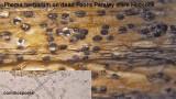 Phoma herbarum (coelomycete) on dead Fool's Parsley stem Hodsock Mar-14 HW m .jpg