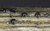 Leptosphaeria doliolum Colwick Park Apr-14 PT.jpg