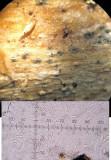 Mycosphaerella superflua on dead nettle stem CarltonWood Apr-14 HW m.jpg