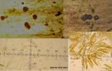 Hydropisphaeria arenula on dead nettle stem CarltonWood Apr-14 HW m.jpg