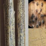 Discostroma tostum on dead Epilobium stem 100 AcreWood Jun-14 HW m.jpg