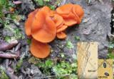 Melastiza cornubiensis WellowPark Sep-14 HW m.jpg