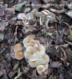 Gymnopus aquosus with beech note rhizomes 100AcreWood HW m.jpg