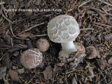 Chlorophyllum brunneum under Yew Carlton-in-LindrickChurchyard Aug-14 HW m.jpg