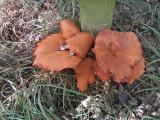 Gymnopilus junonius ClarboroughNR Sep-14 HW m.jpg