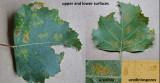 Melampsoridium betulinum on birch leaf LangoldCP Oct-14 HW m.jpg