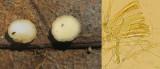 Hymenoscyphus immutabilis on beech leaf BoughtonBrake Nov-14 HW s.jpg