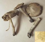 Inocybe ochroalba with beech BoughtonBrake Oct-14 HW s.jpg