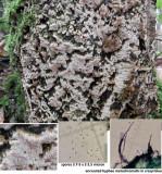 Ceriporiopsis gilvescens on birch stump RansomWood Dec-14 HW m.jpg