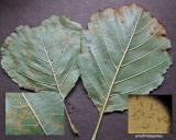 Melampsora laricis-populina on aspen leaf Worksop Nov-14 HW m.jpg
