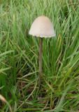 Panaeolus sphinctrinus Grey Mottlegill BestwoodCP 10-05 AW.jpg