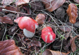 Russula nobilis with beech 100 Acre Wood Dec-14  HW.jpg