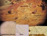 Rutstroemia fruticeti immature on dead bramble stem IdleValleyNR Feb-15 HW s.jpg