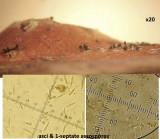 Apioporthe vepris on dead bramble stem IdleValleyNR Feb-15 HW s.jpg
