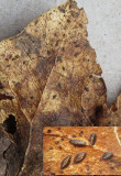 Hypoderma hederae on dead ivy leaf Carlton Wood Mar-15 HW s.jpg