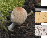 Coprinellus domesticus in soil ANR Mar-15 RR.jpg