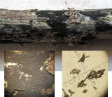 Torula herbarum a hyphomycete on old nettle stem Lound Linghurst Pools Mar-15 HW s.jpg