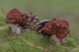 Gyromitra esculenta False Morel Sherwood Pines Apr-15 JWB.jpg