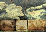 Aureobasidium pullulans Hodsock-Blyth footpath April-15 HW s.jpg