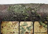 Amandinea punctata on alder twig with lichen Linghurst Pools Lound Mar-15 HW s.jpg